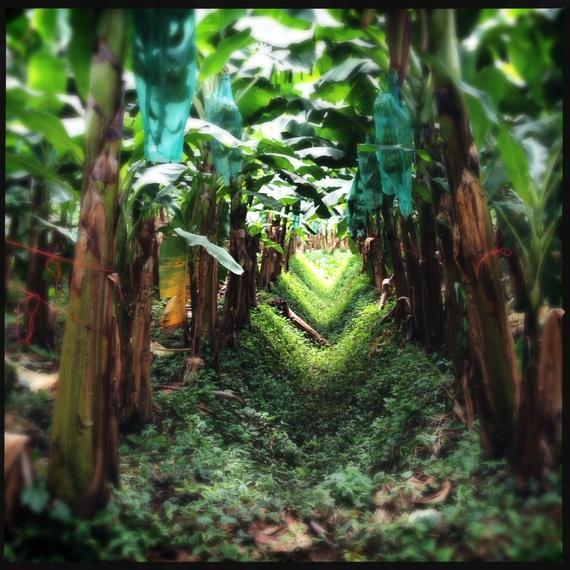 2013-10-25-BananaFarmatEarthUniversity.JPG