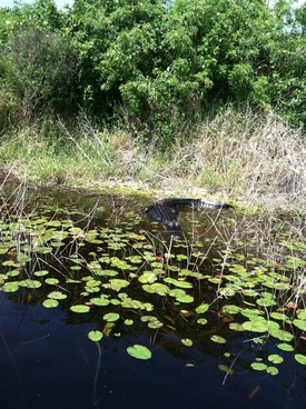 2013-10-25-alligatorokeechobee.jpg