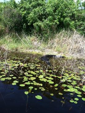 2013-10-25-alligatorokeechobee.jpg