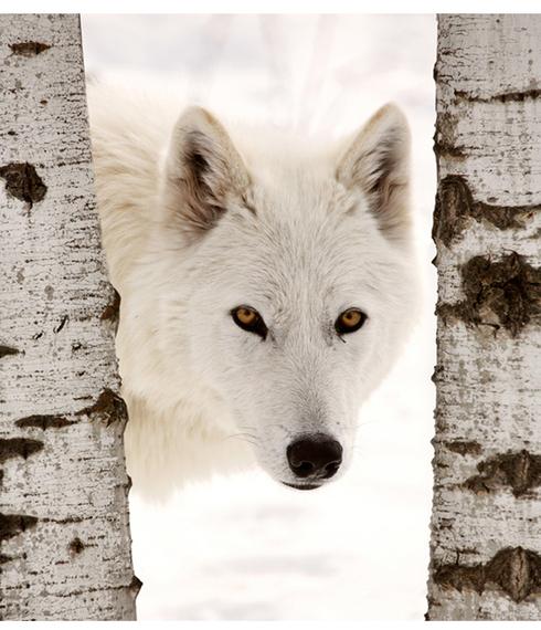 2013-10-31-ArcticWolfGoldenYellowEyesZoeHeleneHP.jpg