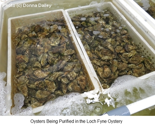 2013-11-01-Loch_Fyne_Oyster_Purification_Process.jpg