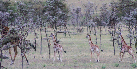 2013-11-02-3InfantGiraffes.jpg