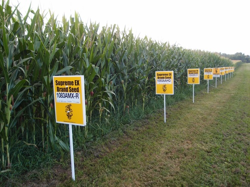 2013-11-08-GMO_corn_Yellow_Springs_OhioLindsayEyinkfromSanFranciscoCAUSA.jpg