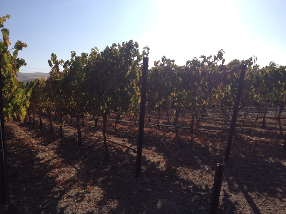 2013-11-08-TriValleyvineyard.JPG