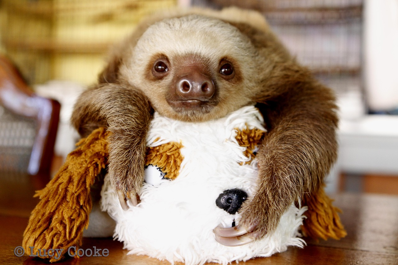 Lucy Cooke Baby Sloths