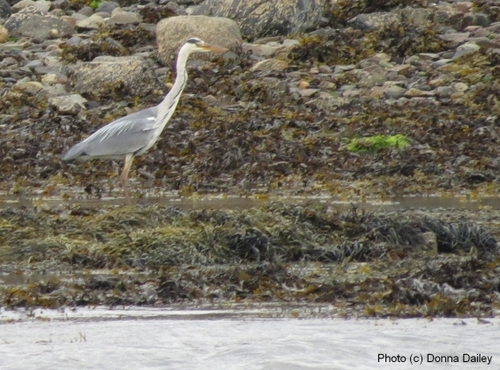 2013-11-16-Scotland_Wildlife_Cruise_Heron.jpg