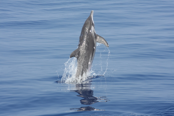 2013-11-17-Roughtoothed_dolphin_remoras_RWB.jpg