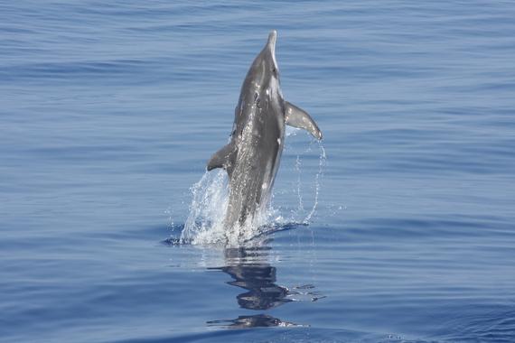 2013-11-17-Roughtoothed_dolphin_remoras_RWB.jpg