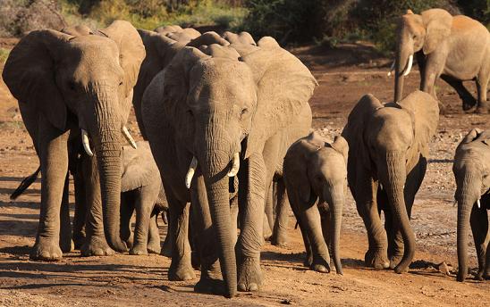 2013-11-19-ElephantHerdbyMelissaScott.png