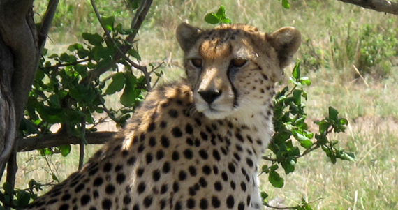 2013-11-19-cheetah.jpg