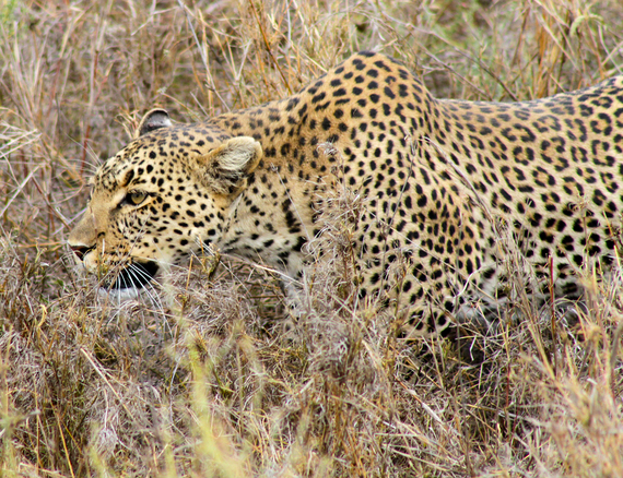 2013-11-20-LeopardStalking.jpg