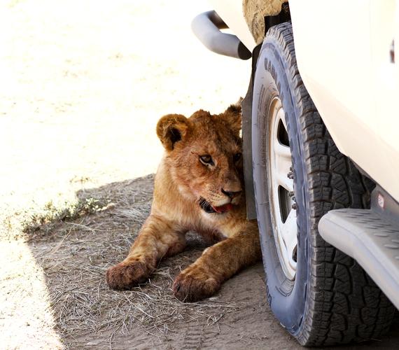 2013-11-20-LionCubUnderWheel.jpg