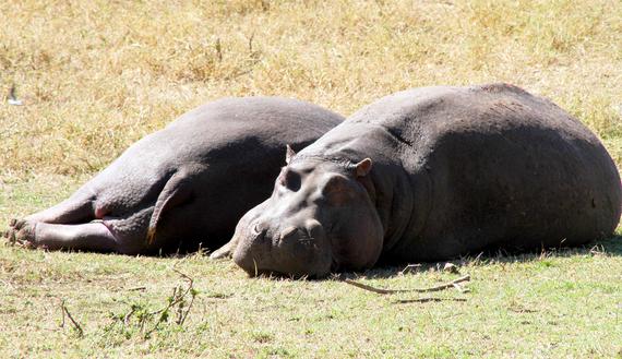 2013-11-21-HipposSunning.jpg