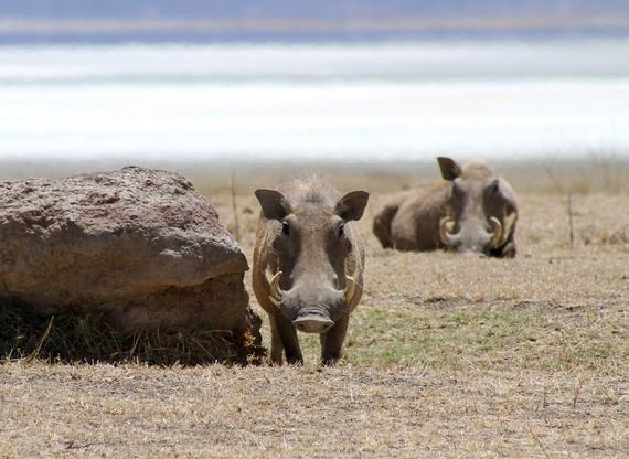 2013-11-21-Warthogs.jpg