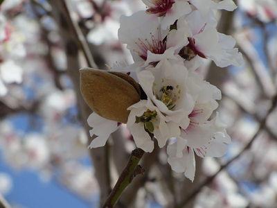 2013-12-18-AlmondBlossom.jpg