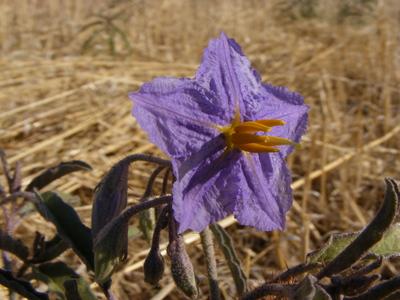 2013-12-18-Solanum_quadriloculatum_wild_tomato_flower.jpg