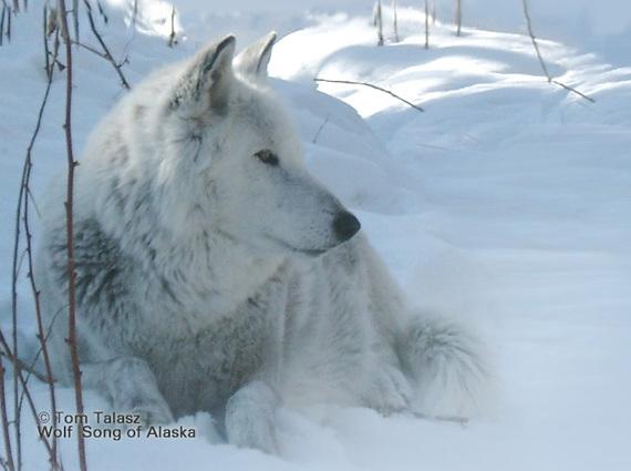2013-12-19-WolfSongofAlaska.jpg
