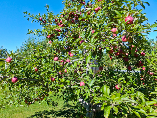 2013-12-21-CiderAppleTrees.jpg
