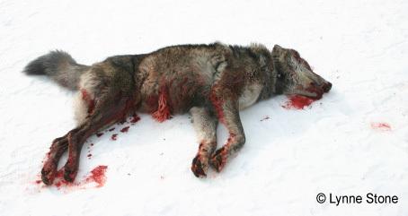 2013-12-23-WolfgutshotLynneStonecropped.jpg