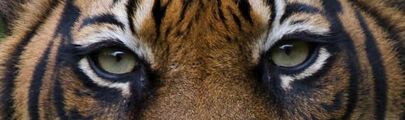 2013-12-23-tiger1.jpg