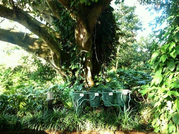 2013-12-24-costaricafincarosablancatree.JPG