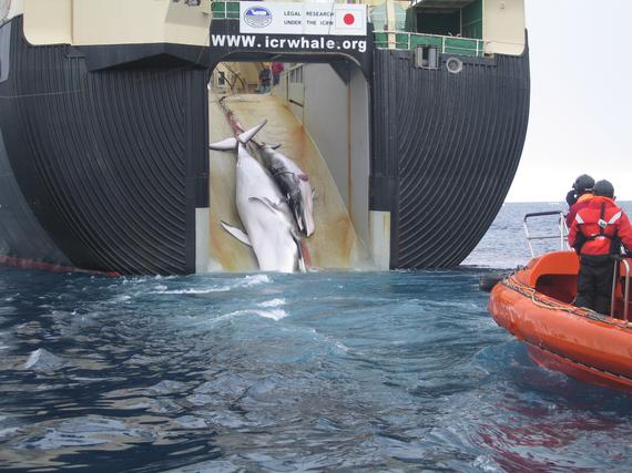 2013-12-28-Japan_Factory_Ship_Nisshin_Maru_Whaling_Mother_and_Calf.jpg
