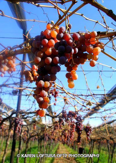 2013-12-31-GrapesatZuccardiWinery.jpg