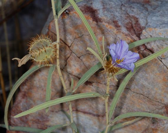 2014-01-04-SolanumcowieiFemale.jpg