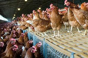 2014-01-06-Chickens2.jpg