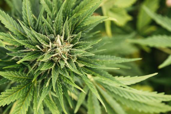 2014-01-07-marijuanaGlobalYodel.jpg