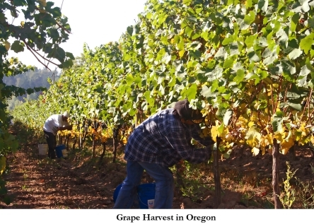 2014-01-08-Grape_Harvest_Oregon_wine_country.jpg