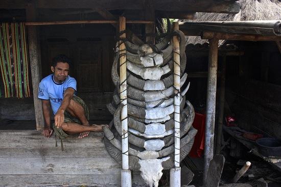 Ngada village buffalo sacrafice on display