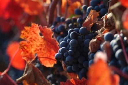 2014-01-08-Vineyardgrapesautumnalleaves.jpg