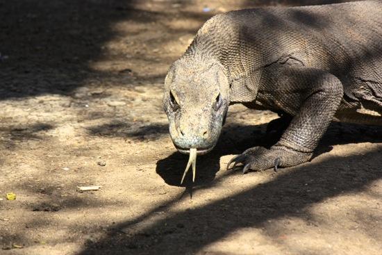 look at that Komodo dragon tongue and those claws