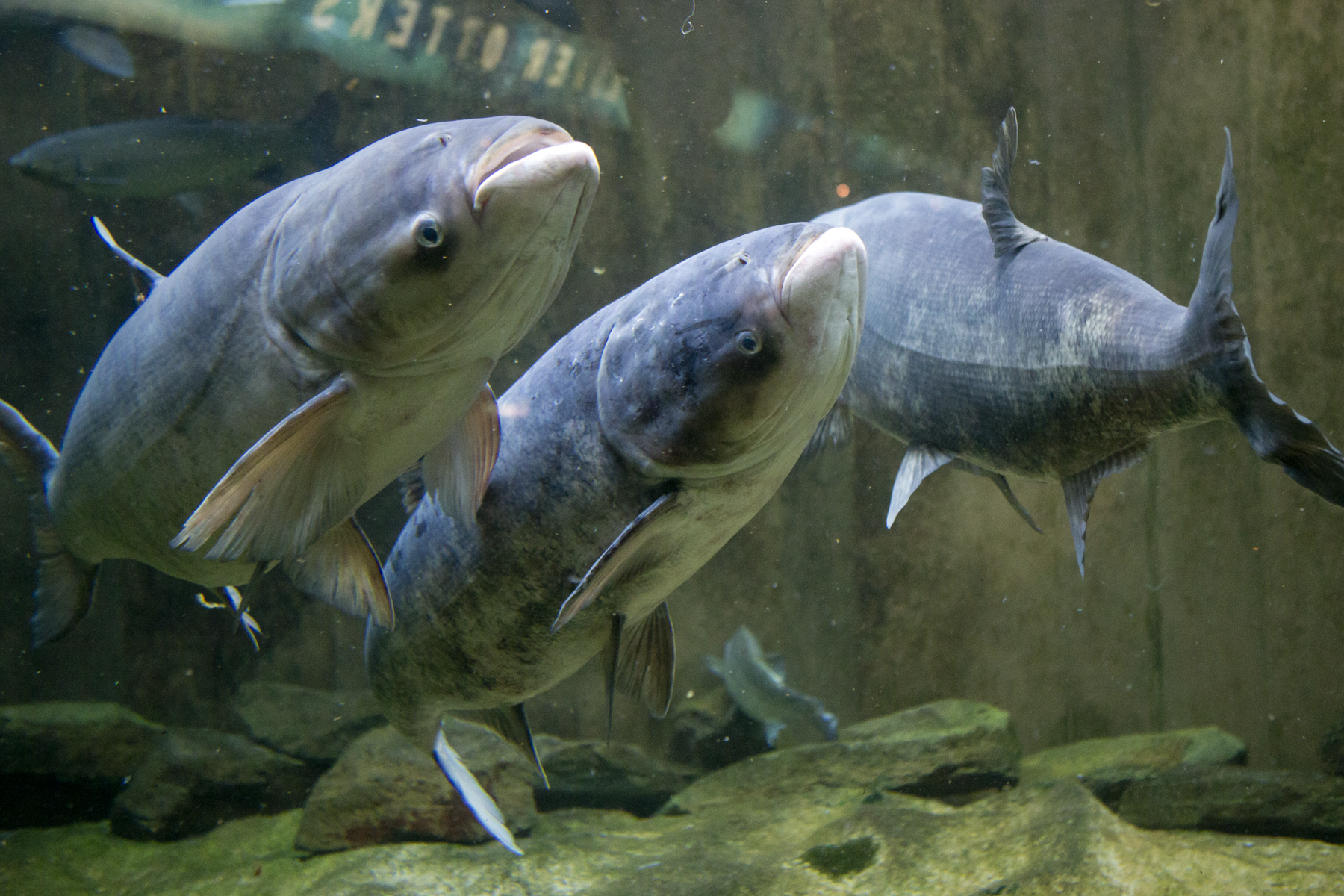 High stakes of the great lakes invasive species huffpost for Freshwater fish representative species