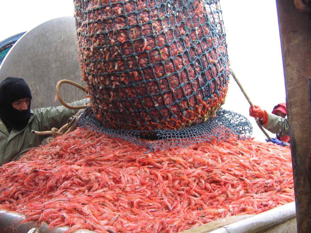 northern shrimp