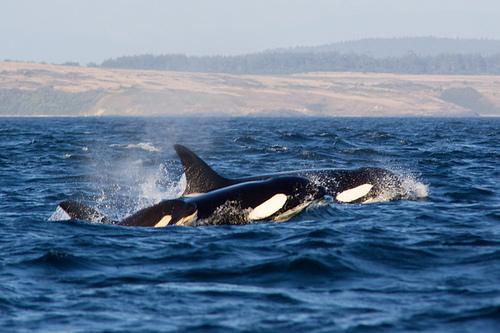2014-01-26-OrcasCreditDrTH80ccby2.0.jpg