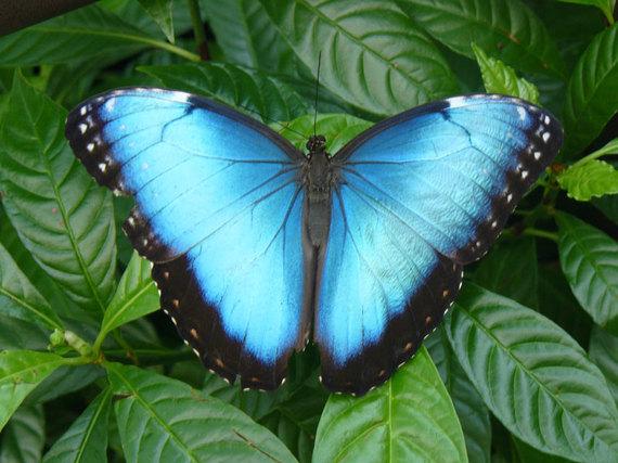 2014-01-28-HondurasBlueMorphoButterflyJamesAdams.jpg