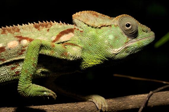 2014-01-31-Chameleons_TravisSteffens1.jpg