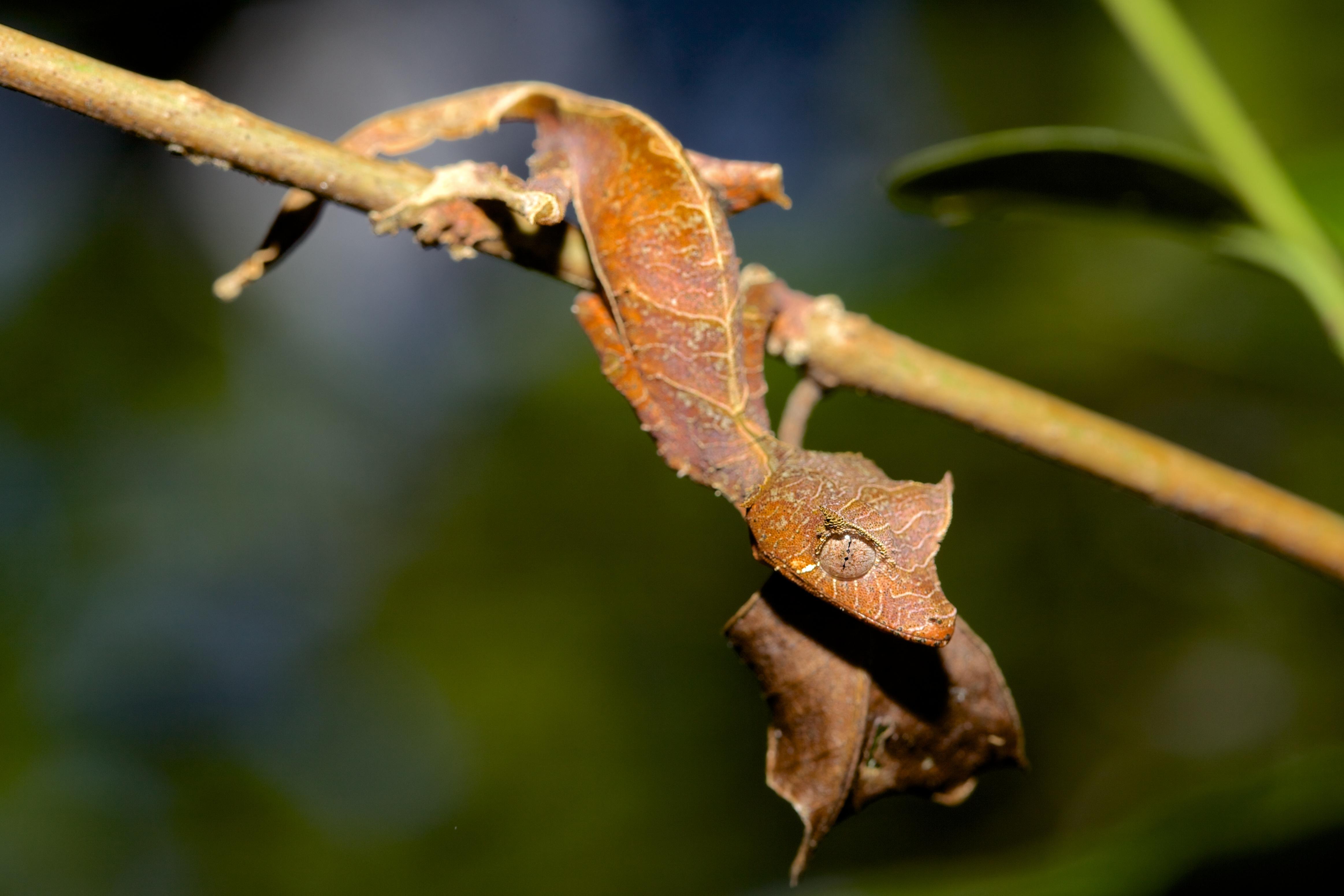 animals unusual bizarre creatures madagascar leaf amazing gecko tailed found island five wallpapers