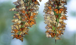 2014-02-07-monarchbutterflymigrationhorero.jpg