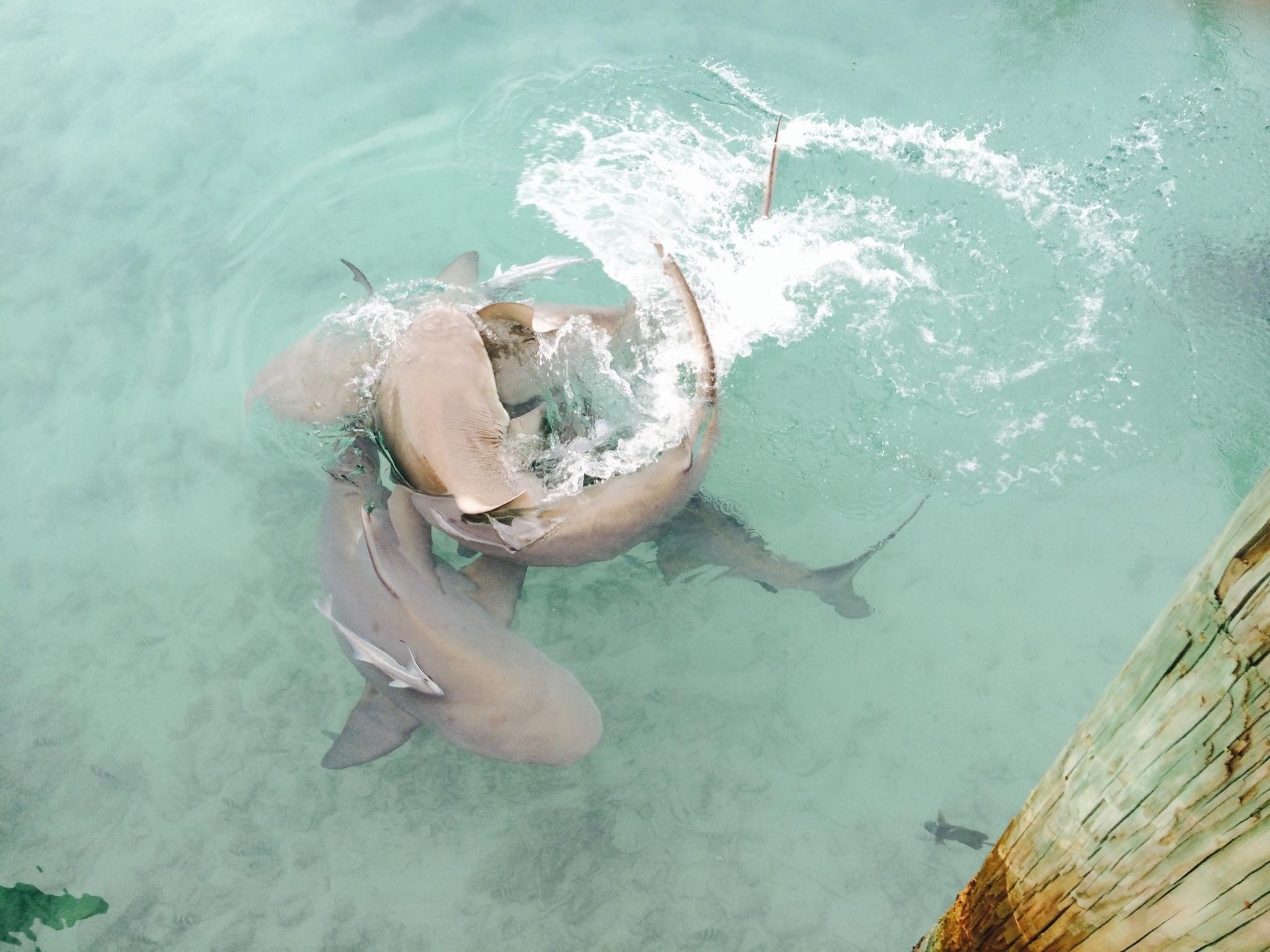 huge sharks eating people Gallery