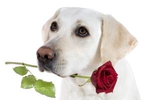 2014-02-08-dogwithroseshutterstock_8509900.jpg