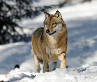 2014-02-17-wolf.jpg