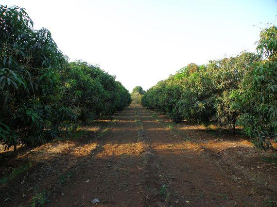 2014-02-18-Mango_Plantation_near_Sasan_Gir_Gujarat.jpg