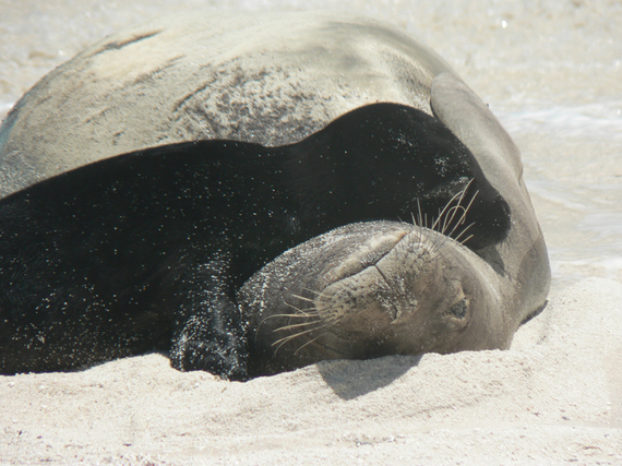 2014-02-22-nwhi_monk_seal_mom_and_pup_pair_med.jpg