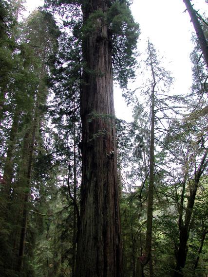2014-02-25-RedwoodsEarthDrReeseHalter.JPG