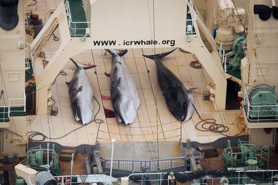 2014-03-05-SeaShepherdMinkeWhalesEarthDrReeseHalter