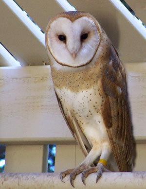 Barn Owl. WildCare photo by Alex Godbe
