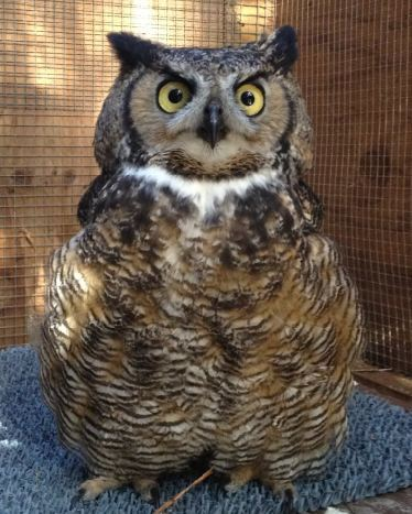 Great Horned Owl patient. WildCare photo by Melanie Piazza